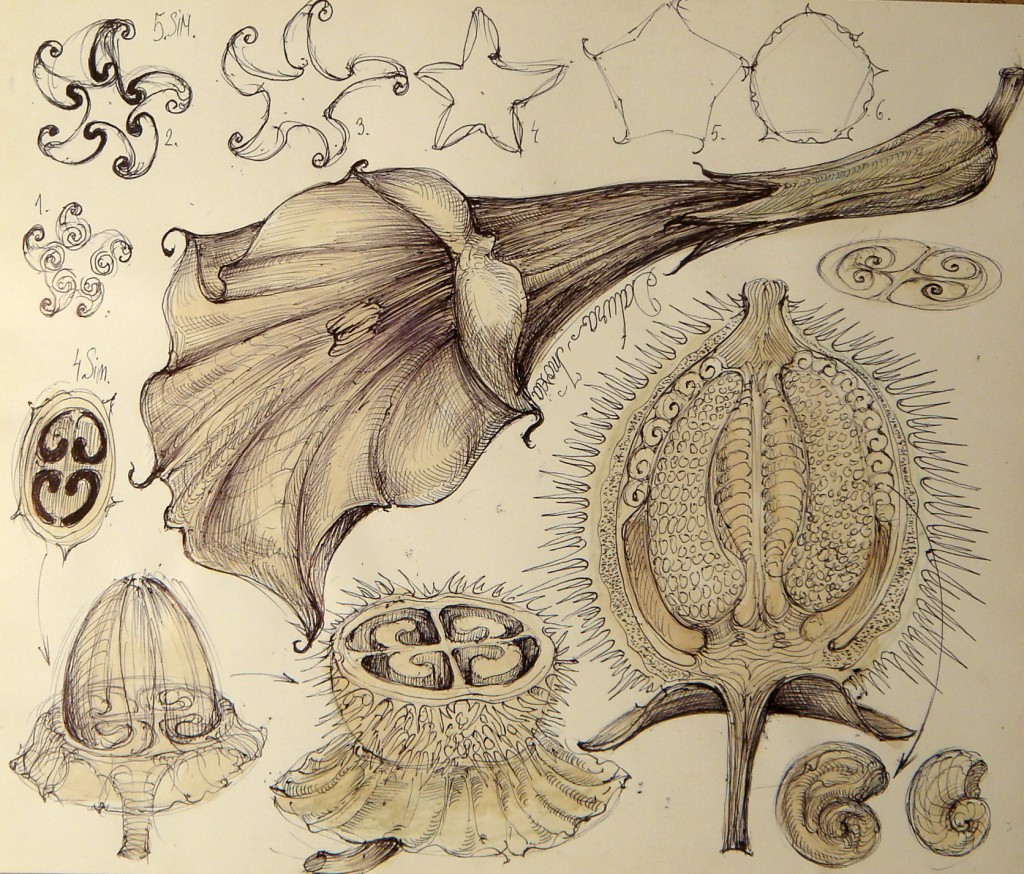 Gabriel Kelemen, Universal Sphere-Vortex Principium Theory, 6 Plant and mimetic relationship funnel-Sphere-Vortex and morphogenesis (Datura Inoxia).